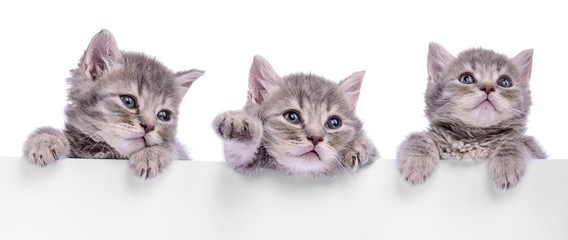 three Scottish kitten