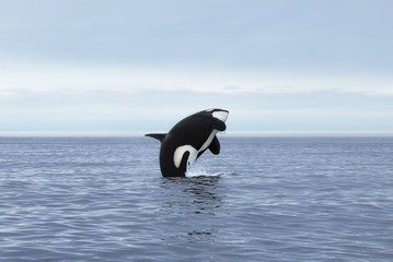Killer whale female making high jump, Kamchatka, Pacific Ocean