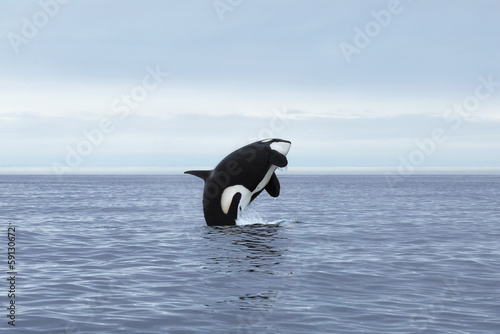 In de dag Dolfijn Killer whale female making high jump, Kamchatka, Pacific Ocean