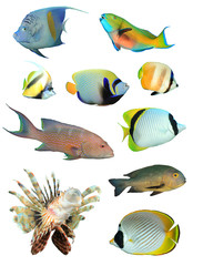 Tropical fish isolated on white