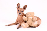 Miniature pinscher on a white background