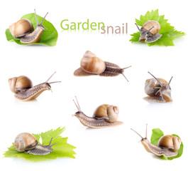 set garden snail (Helix aspersa)
