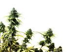 marihuana rostlina