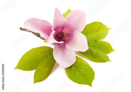 Poster Magnolia magnolia