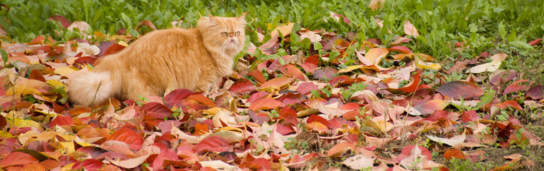 Gilbi red persian cat on autumn leaves