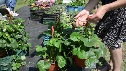 Hand take strawberry seedling plants in pots sold in market fair