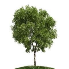 Birke freigestellt - birch tree isolated