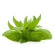 foglie di basilico fresche