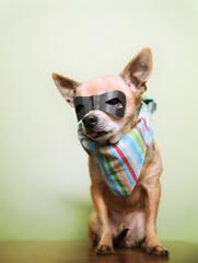 a cute chihuahua with a mask and bandana on