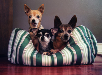a dog bed with three chihuahuas in it
