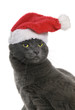 Christmas cat - Gray Cat Santa, isolated