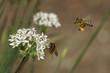 Obrazy na płótnie, fototapety, zdjęcia, fotoobrazy drukowane : Bee, fly and flowers of garlic (Allium)
