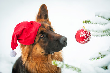 Dog with christmas hat looking at the ball on the christmas tree