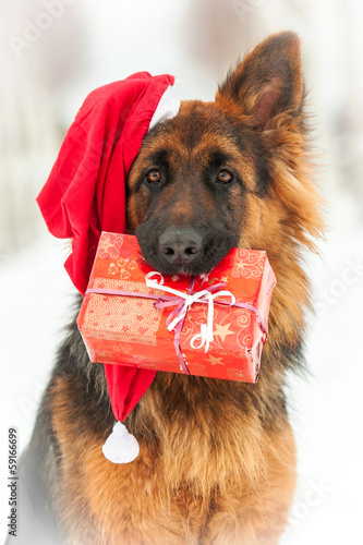 Portrait of  dog with christmas hat and a gift