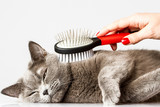 woman combing British cat on white background