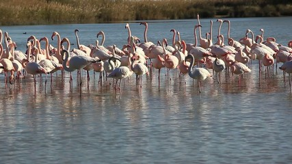 NATURE CAMARGUE FLAMANTS ROSES