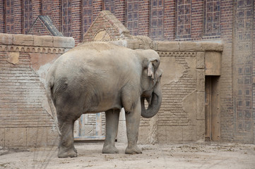 An Asian or Asiatic Elephant