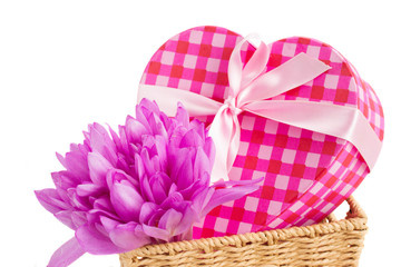 violet  crocus flowers  and gift box