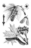 Botany : Maple - Érable - Ahorn poster
