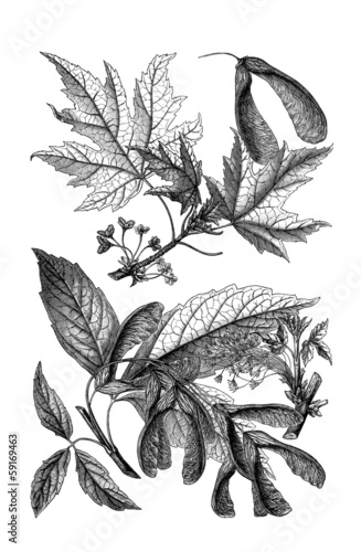 Maple - Ahorn - Érable (Botany)