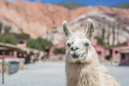 Foto op Plexiglas Lama Llama in Purmamarca, Jujuy, Argentina.