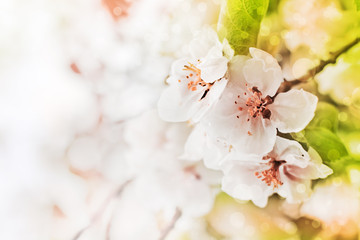 Apple blossoms tree/ Spring flowers background