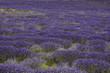 lavande, Lavendula x intermedia, Culture , provence, Apt, 84