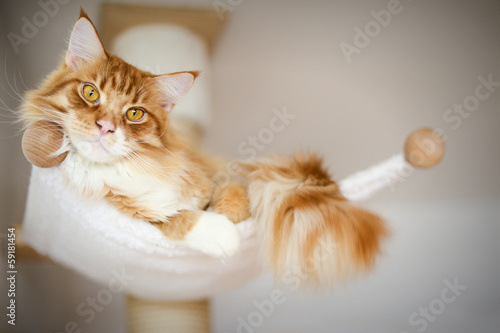 canvas print picture Main coon Katze