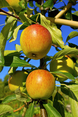 Cox's Orange Pippin apples ripening on a tree branch.