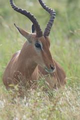impala  del sudafrica