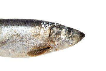 herring on white background