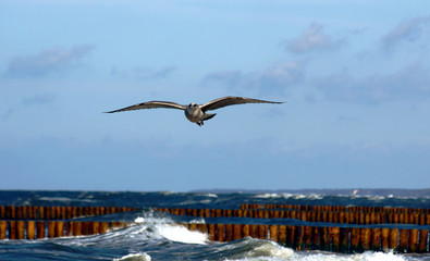 seagull on the fly, Poland, Baltic