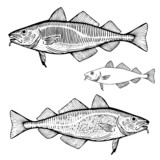 Hand Drawn Illustration of a Atlantic Cod