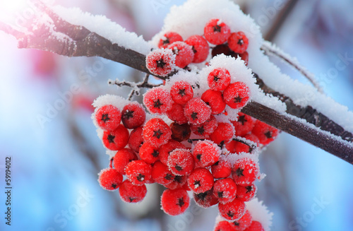 Foto op Plexiglas Planten Frost-covered berries