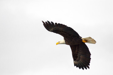 Bald Eagle in Flight, White Sky