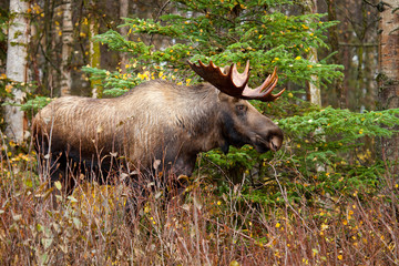 Moose Bull with big antlers blowing steam, Male, Alaska, USA