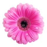 Pink gerbera flower with water drops isolated on white poster