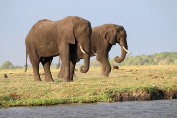 Elefanten im Chobe Nationalpark. Botswana