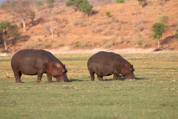 Hippos im Chobe Nationalpark. Botswana