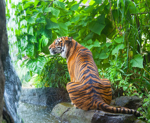 sumatransky tiger sits at falls in the jungle