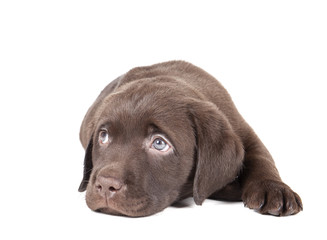 Labrador puppy chocolate on a white background in studio