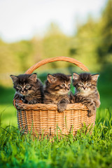Three tabby kittens sitting in the basket