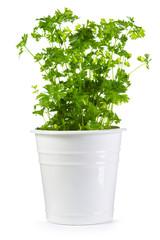 fresh parsley in a pot