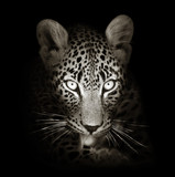 Leopard portrait in toned b&w