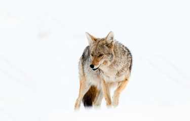Coyote in Snow - Yellowstone National Park