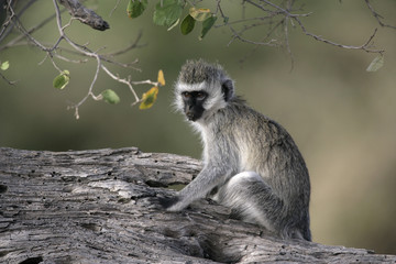 Vervet or Green monkey, Chlorocebus pygerythrus