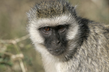Vervet or Green monkey, Chlorocebus pygerythrus