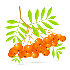 Illustration of Rowan Berries Isolated on White Background