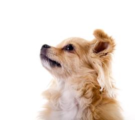 Chihuahua – aufmerksam