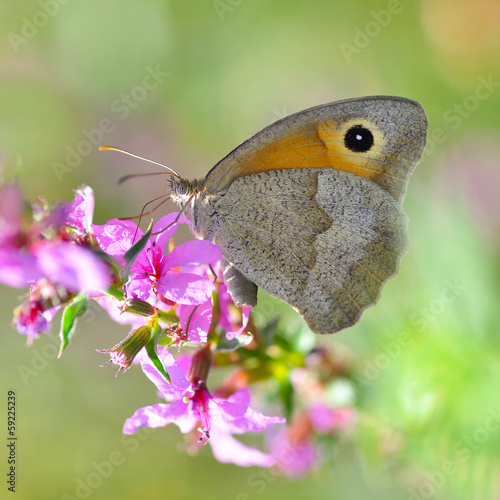 Grey butterfly on a purple flower